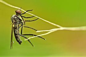 """""""Dobre"""" komary do walki z epidemią dengi"""