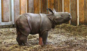 W zoo urodził się nosorożec! (ZDJĘCIA)