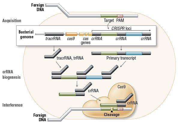 Funkcjonowanie CRISPR w bakteriach (źródło: NEB expressions Issue I)