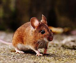 Niemcy. Pierwszy taki przypadek. Mężczyzna zakażony wirusem myszy