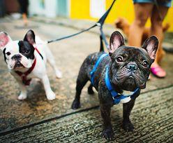 Porwano psy uwielbianej gwiazdy. Policja aresztowała 5 osób