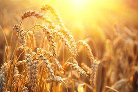 Zboża - właściwości pszenicy, jęczmienia, owsa, żyta i innych zbóż