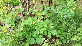 Glistnik jaskółcze ziele – właściwości, zastosowanie, przeciwwskazania i skutki uboczne