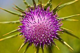 Leki roślinne w leczeniu chorób wątroby