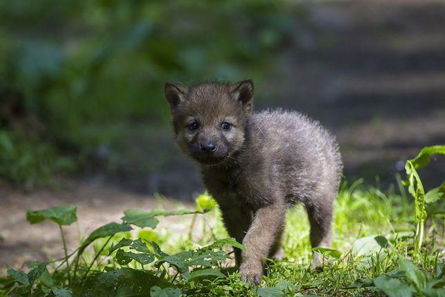 Szczenię wilka, zdjęcie ilustracyjne