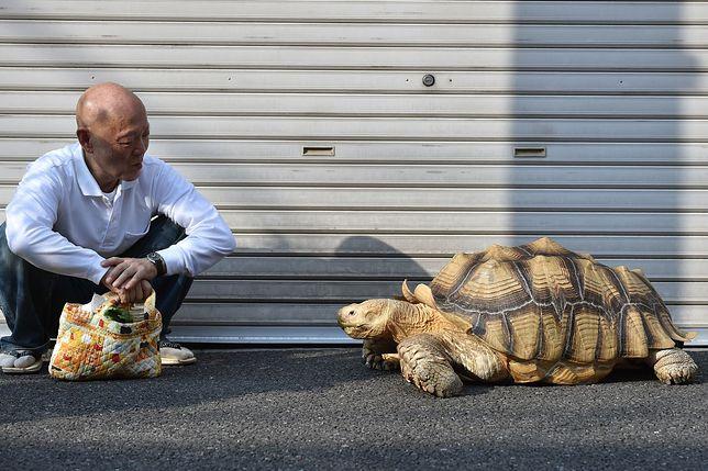 Słynny żółw spacerujący ze swoim właścicielem po ulicach Tokio