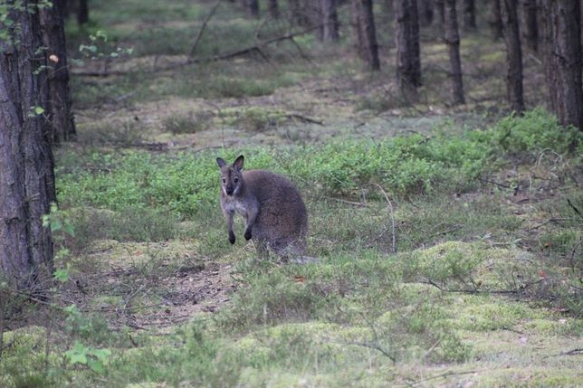 Kangur prawdopodobnie uciekł z niemieckiej hodowli