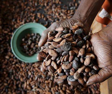 Ziarna kakaowca z Wybrzeża Kości Słoniowej
