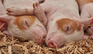 """""""Hotele dla świń"""" w Chinach"""