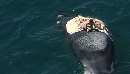 Turysta chciał posurfować na ciele martwego wieloryba