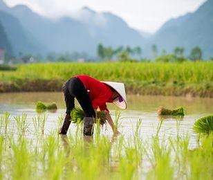 Zmiany klimatyczne nas dobijają. Azjatycki spichlerz ryżowy wysycha