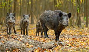 Sawicki: będzie wniosek o depopulację dzików w Podlaskiem