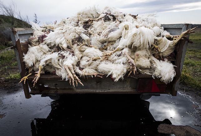 Tysiące zagłodzonych kur na fermie pod Legnicą. Właściciel świadomie nie podawał im pożywienia