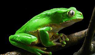 Żaba kambo, ziołowe napary od szamana. Dlaczego nabieramy się na kuracje medycyny alternatywnej?