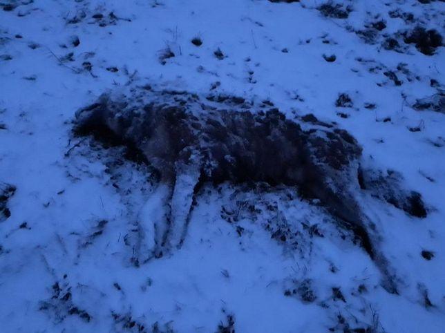 Bieszczady. Potężny wilk zagryziony w dolinie Sanu