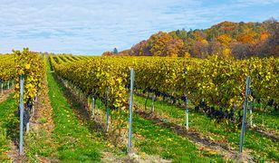 Lubuskie - polskie winnice od podszewki