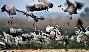 Ptaki wcześniej zlatują na polski biegun zimna