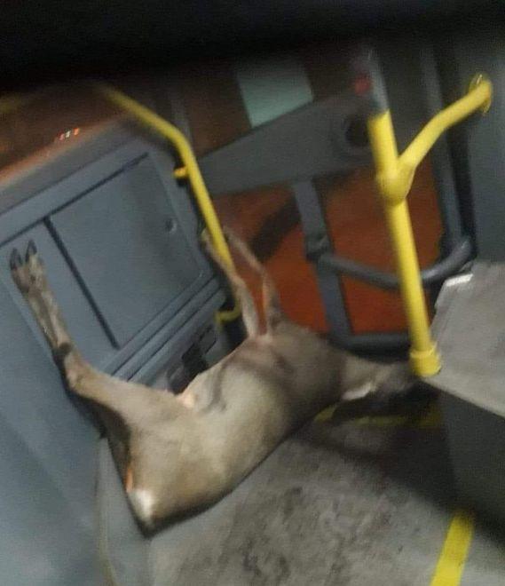 Martwa sarna w autobusie. Kierowca wiózł ją razem z pasażerami
