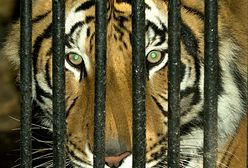 Czy to jawa czy narkotyczne halucynacje. Ich oczom ukazał się olbrzymi tygrys