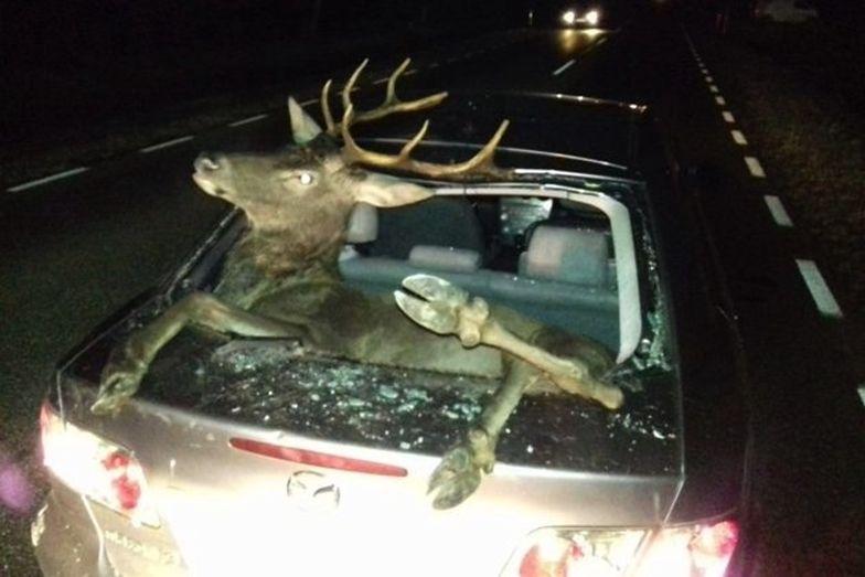 Podlaskie. Wpadł do samochodu. Rodzina była przerażona