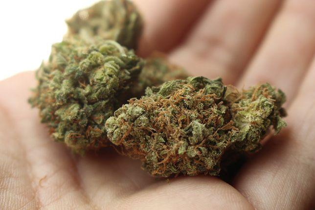 Naukowcy po raz kolejny pod lupę wzięli użytkowników marihuany