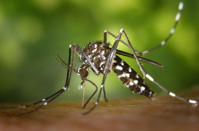 Komar tygrysi w Europie. Ekspert: Polska nie jest gotowa
