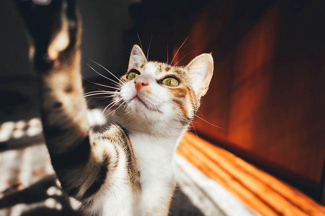 Koronawirus a lek dla kotów. Naukowcy publikują wyniki badań