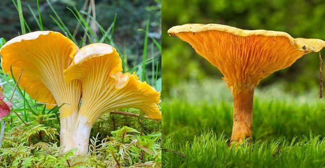 Kurka (pieprznik jadalny) i Lisówka pomarańczowa, czyli fałszywa kurka