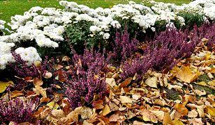 Wrzosy i chryzantemy - jesienne kwiaty w warszawskich kwietnikach