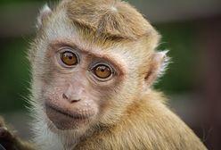 Małpa postawiła służby na nogi. Policjanci ze Zgorzelca szukali zwierzęcia