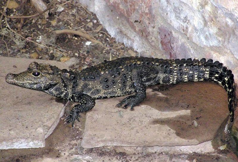 Krokodyl w Odrze?! Uciekł z hodowli