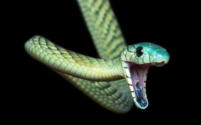 Zielona mamba - to jeden z najbardziej jadowitych węży.