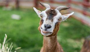 Serbia - koza zjadła 20 tys. euro przeznaczone na zakup ziemi.