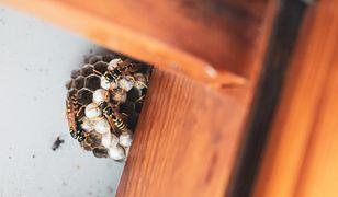 Gniazdo pszczół, os i szerszeni. Jak usunąć je bez szkody dla siebie i owadów?