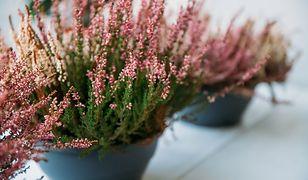 Na balkonie i w ogrodzie. Jak sadzić i pielęgnować wrzosy, by przetrwały aż do wiosny?