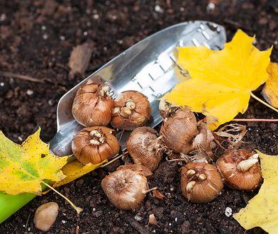 Warto wiedzieć. Które sadzonki sadzimy, a które wykopujemy na początku jesieni?
