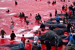Grindadráp - krwawa rzeź morskich ssaków. Na Wyspach Owczych to kultywowana tradycja