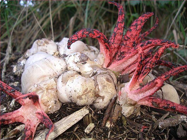 Diabelskie palce, czyli okratek australijski. Egzotyczny grzyb w Polsce