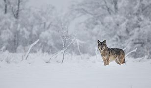 Martwa wilczyca na terenie Nadleśnictwa Daleszyce. Policja szuka kłusownika