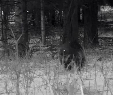 USA. W parku Yellowstone kamera chwyciła niezwykle rzadkie zwierzę