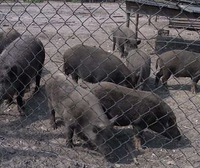 Mieszkańcy Cyganówki protestują. Nie chcą pozwolić na odstrzał zdrowych zwierząt