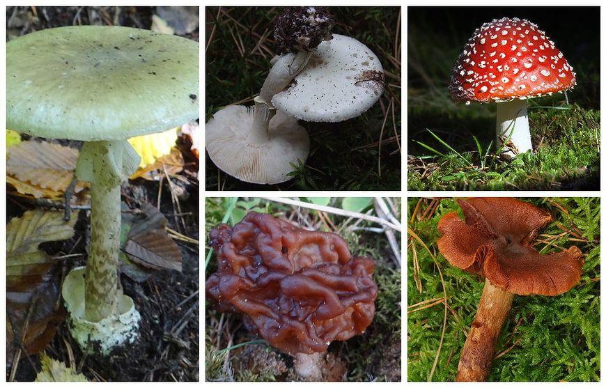 5 najbardziej trujących grzybów w Polsce