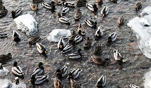 Jak nie dokarmiać kaczek zimą - krótka instrukcja
