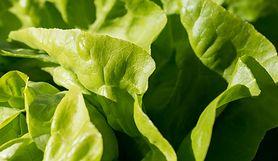 Sałata masłowa – odmiany, uprawa, wartości odżywcze i przepisy