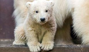 Nie żyje niedźwiadek Fritz z berlińskiego zoo