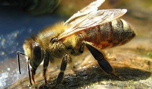Broń biologiczna: od gniazd pszczół po listy z wąglikiem
