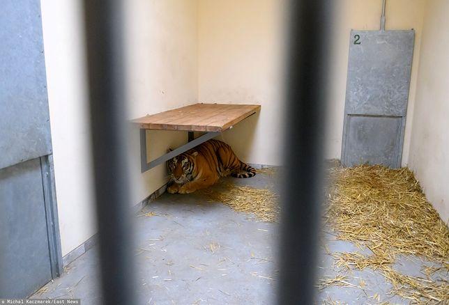 Tygrysy trafiły do poznańskiego ogrodu zoologicznego.