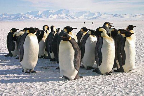 Pingwiny cesarskie nie unikają przenosin