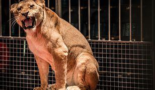 Rosja - lew zaatakował dziecko podczas przedstawienia w cyrku.
