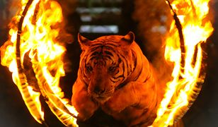 Rosja - tygrys dostał napadu padaczkowego podczas przedstawienia.